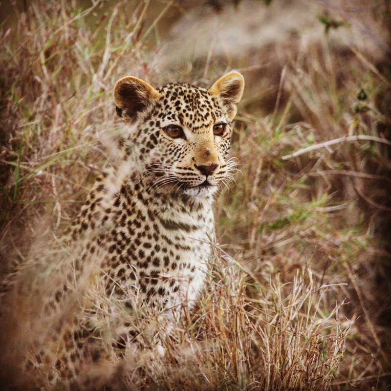 Leopard in camp