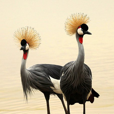 Crested cranes